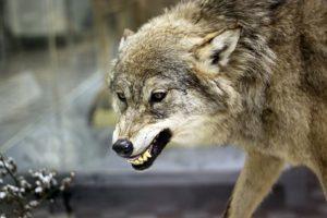 Der Wolf zeigt, wie es geht: Auch wer bei Bedarf zeigt, wo seine Grenzen sind, gehört immer noch zur Gemeinschaft und wird dort umso mehr respektiert.